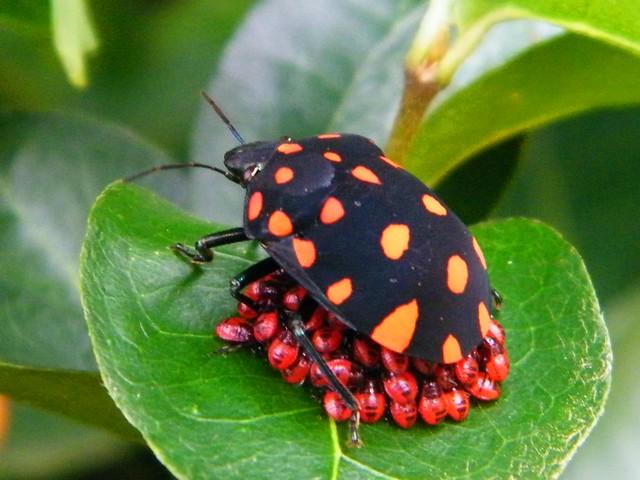 Percevejo (Pachycoris torridus (Scutelleridae, Pachycorinae) | Flickr ...