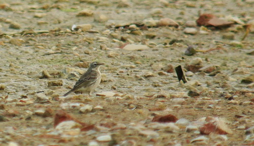 Water Pipit at Meadow Lane GP