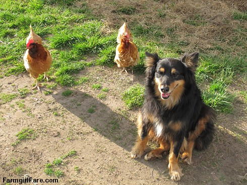 Cluck cute (3) - Stock dogs, they aren't just for sheep anymore - FarmgirlFare.com