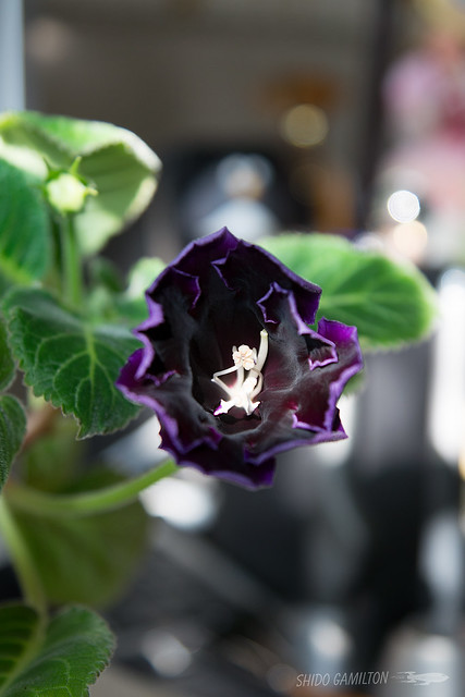 "Gloxinia ""Black Hollywood"""