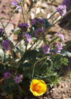 Spring Wildflowers, Scorpionweed and California Poppy
