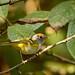 Chestnut-crowned Warbler (Sujan Chatterjee)