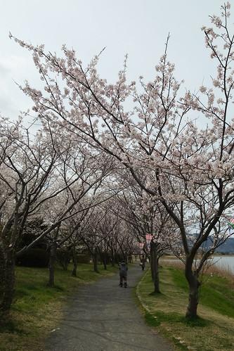 桜の花、舞い上がる道を 4