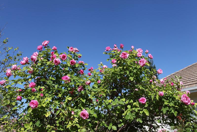 rose_179