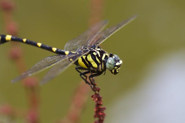 Sinictinogomphus clavatus