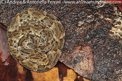 Lancehead pit-viper Bothrops atrox
