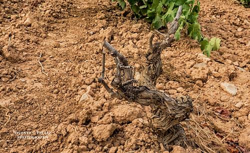 Muerte en el viñedo