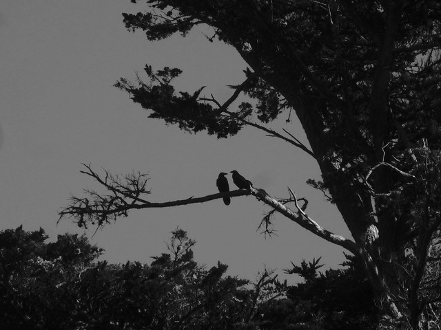 Two crows at Polo Fields; Golden Gate Park, San Francisco (2013)