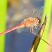 Roan Dragonflies and Damselflies