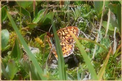 Uncompahgre Fritillary Colorado butterfly photography by Ron Birrell; DSC_0021