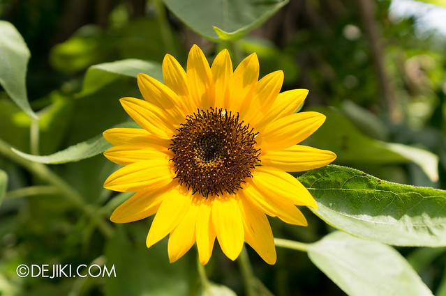 Sentosa Flowers 2013 - Sunflower