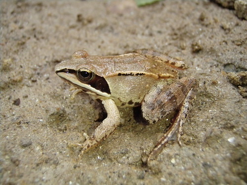 Image of Wood Frog