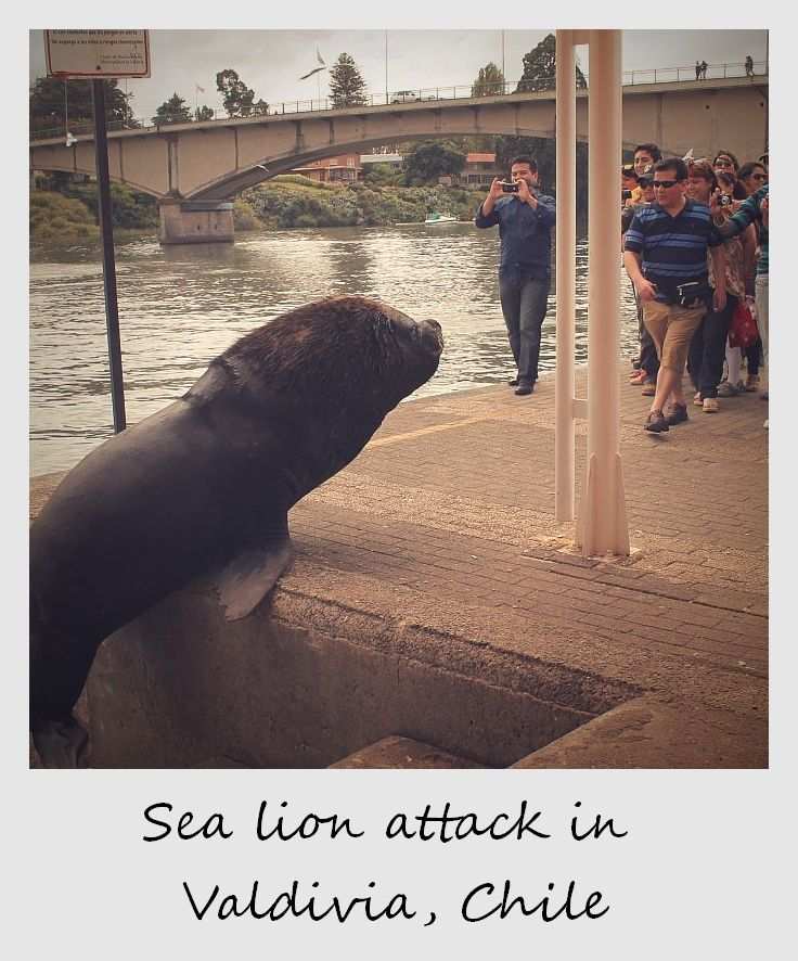 polaroid of the week chile valdivia sea lion attack