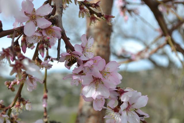 009 - Almendros en flor Vall de Pop