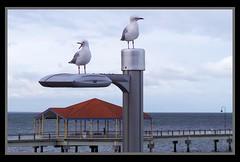Sea Gulls at dusk Redcliffe Jetty-1.jpg