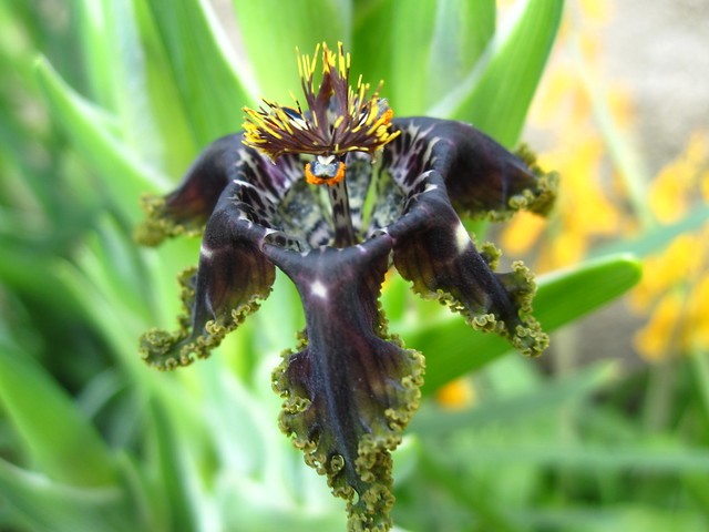 Ferraria crispa blooms in the Warm Temperate Pavilion. Photo by Sarah Schmidt.