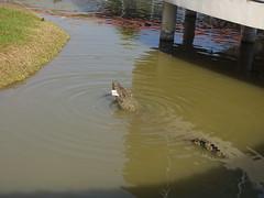 Crocodile Krokodil Bung Chawak Suphanburi Province
