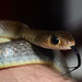 Chinese Ratsnake - Photo (c) Patrick Randall, some rights reserved (CC BY-NC-SA)