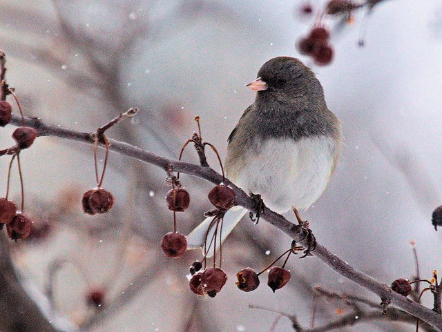 Dark-eyed Junco 2-20130227