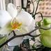Particolare Phalaenopsis bianca