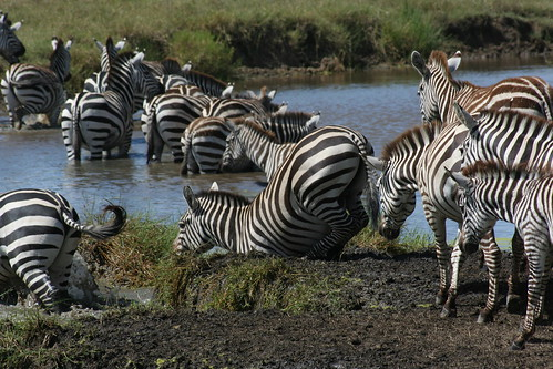 8529203917 35eed2bb25 When is the Best Time to See The Great Migration? Three Perspectives on One Phenomenon.