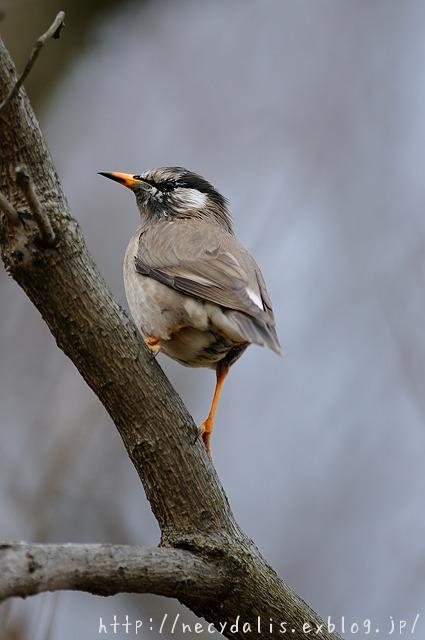 ムクドリ [Sturnus cineraceus]...