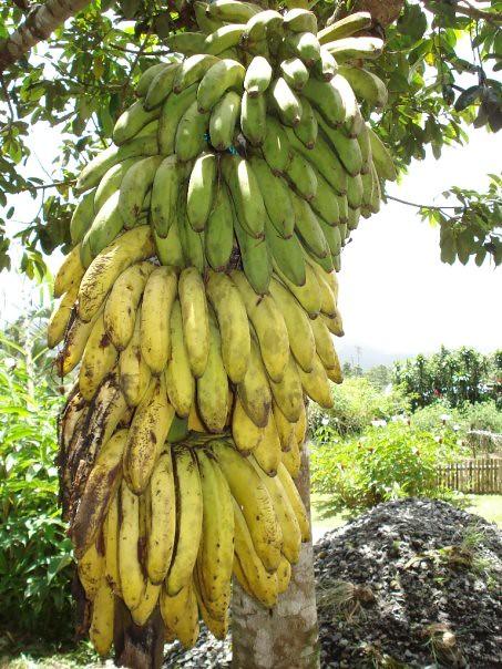 Ripening rack of organic bananas at Finca Don Juan