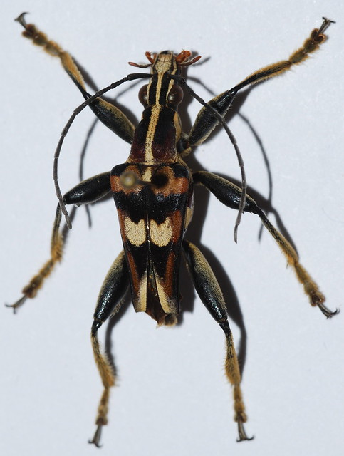Header of anthribola