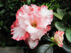 Rhododendron simsii or Azalea indica (white with pink ruffled edges, a bicolored variety), at our garden