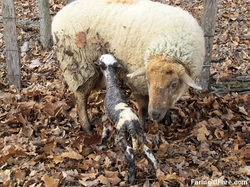 Helga cleaning up her newborn lambs (12) - FarmgirlFare.com