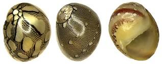 Neritina virginea (Linné, 1758)
