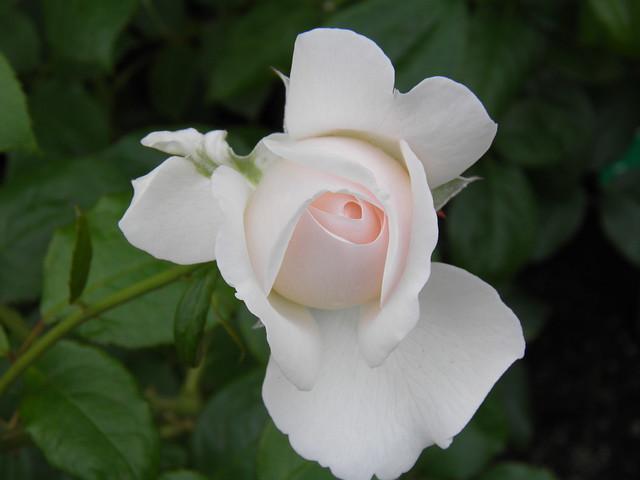 Rosa 'Sebastian Kneipp'