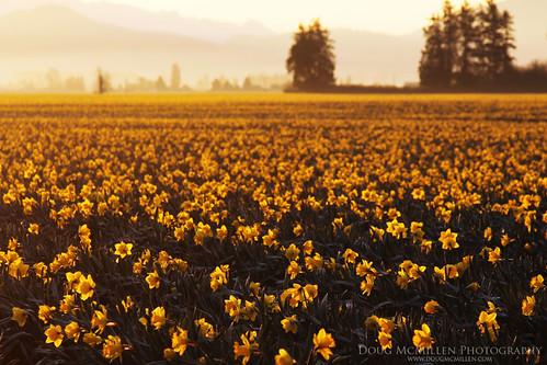 sunrise daffodils skagitvalley march2013