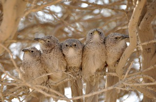 """Arabian babbler (Turdoides squamiceps) group allopreening in front of a neighboring group during a border confrontation."""