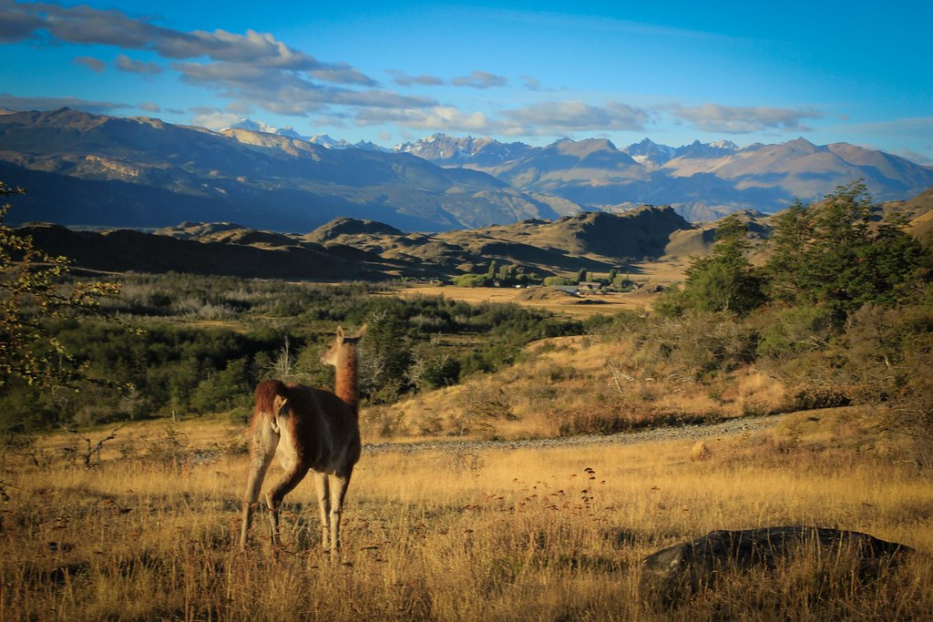 Lonely guanaco in the valle Chacabuco. Future Patagonia National Park. Aysen. Chile.