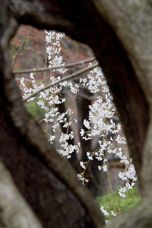 Sakura in Kyoto 34