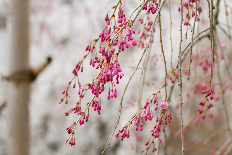 Sakura in Kyoto 14