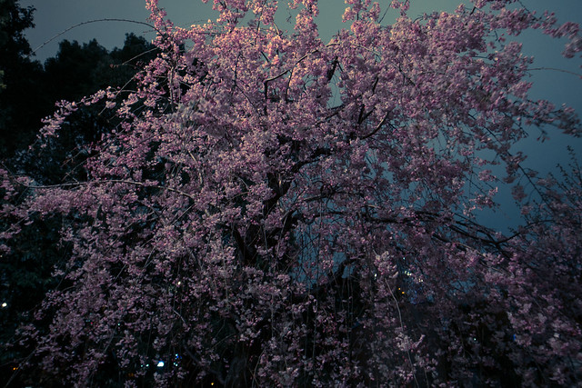 宵桜・庭 (YOIZAKURA, Garden)