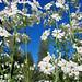 Springtime Primrose