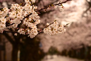 神明通りの桜並木@城端。