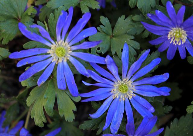 blue Anemone blanda flowers | Flickr - Photo Sharing!
