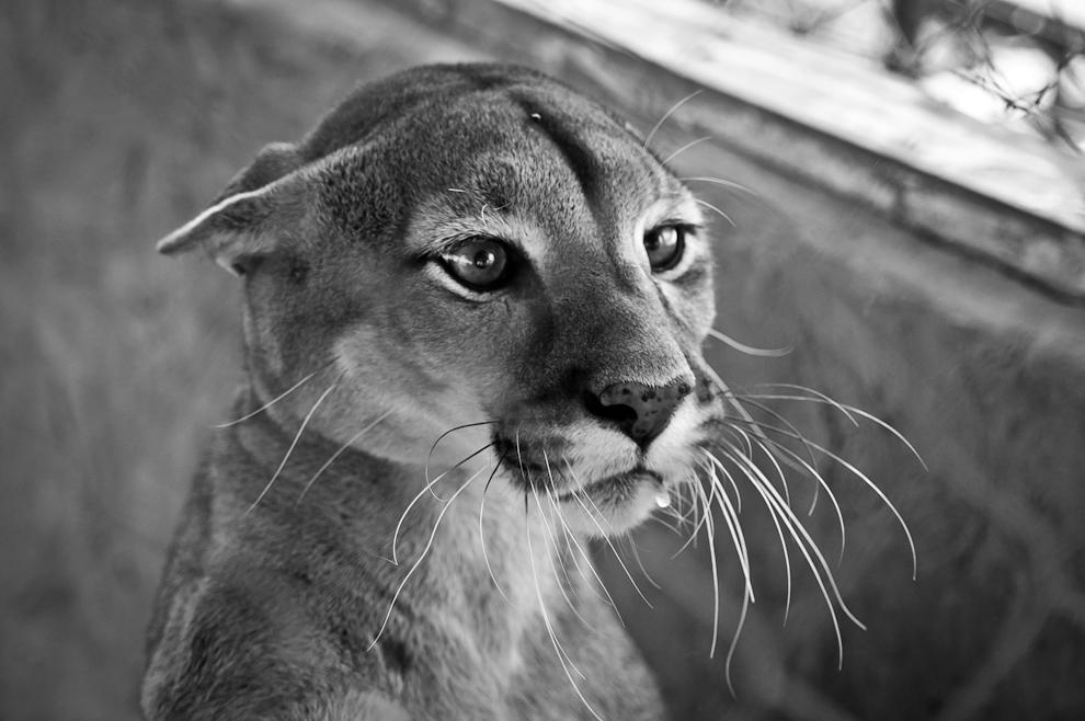 """Un puma en cautiverio se muestra amenazado mientras son observados por visitantes del mini zoológico establecido en el patio trasero del parador """"Pioneros"""", un hotel que sirve como parada tentadora para aquellos que viajan al Chaco, a 400 kilómetros exactamente por la ruta transchaco. (Elton Núñez)"""