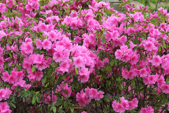 3-29 Pink azaleas
