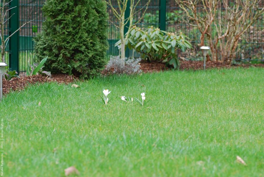 Crocuses in my garden