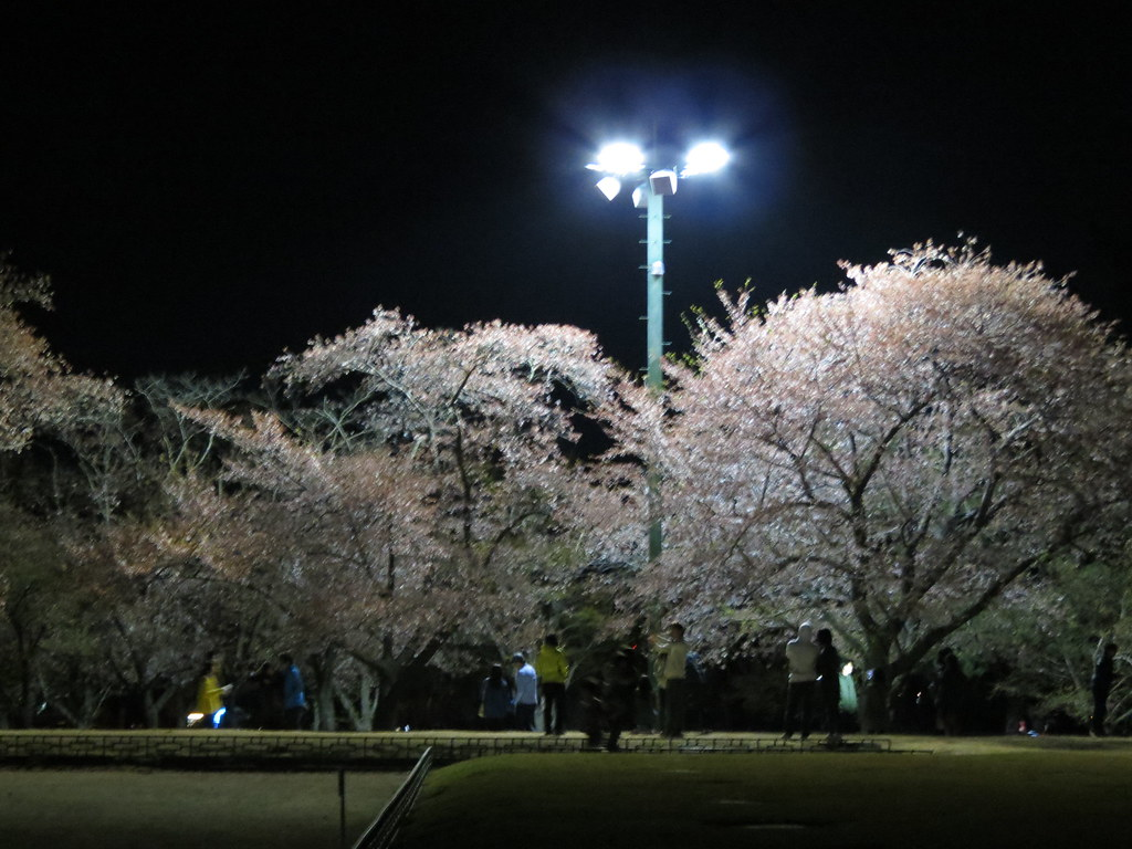 Cherry Blossoms at Anapji Pond at night