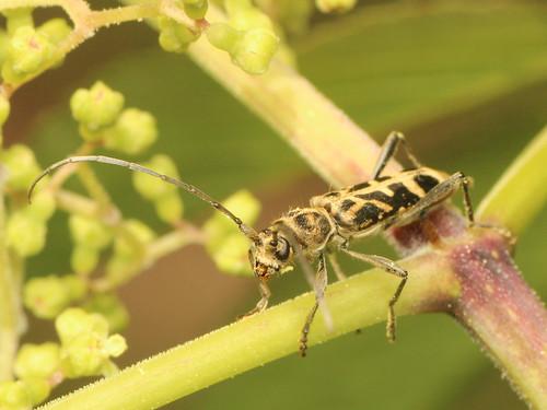 シロトラカミキリ Paraclytus excultus