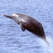 Ganges River Dolphin, Koshi extension