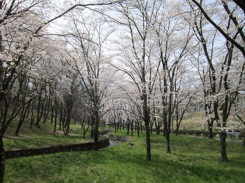 茅野市運動公園の桜/川沿い 2013年4月16日13:31 by Poran111