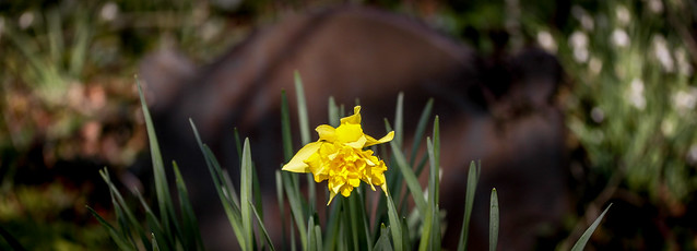 Daffodil In The Graveyard (25x9 version)