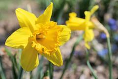 spring flowers 076